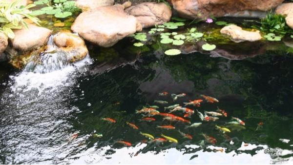 鱼池净化的重要性有哪些