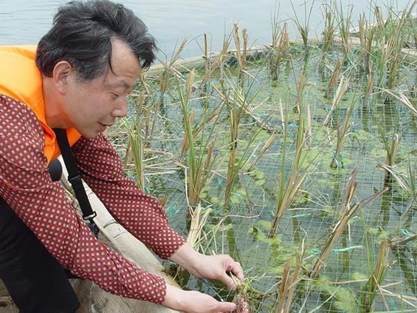 昆明滇池先锋植物浮床种植